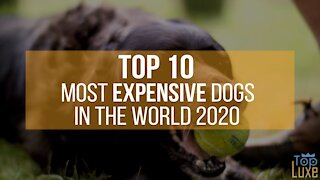 Top 10 Most Expensive Dogs in The World | 2020