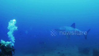 Great white shark appears from nowhere to give divers a fright - Video