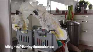 Harley the Cockatoo Gets Goofy With Reflection - Video