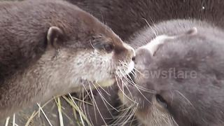Just two otters 'french kissing' - Video