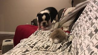 Bouncing bulldog plays with cute bunny rabbit