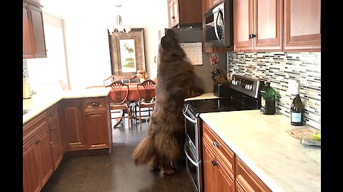 Huge Newfoundland checks top of fridge for treats