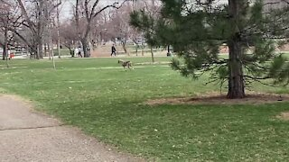 Mangy coyote spotted walking through Wash Park in daylight