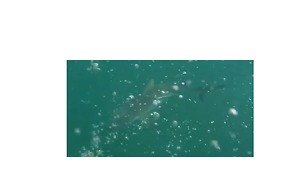 Coral Bay Spearer Has Close Encounter with Shark