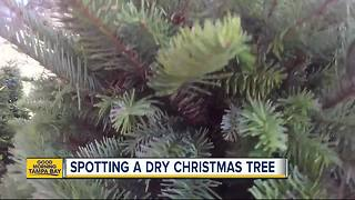 Keys to spotting a not-so-fresh Christmas tree verse a fresh one - Video