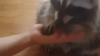 Clever raccoon demonstrates array of tricks
