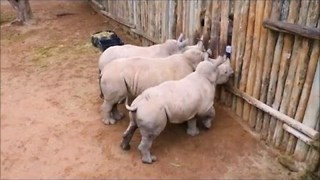 Baby Rhinos Cry When Their Milk Runs Out - Video