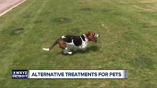 Downriver doctors using acupuncture and chiropractic treatments to help animals walk again - Video