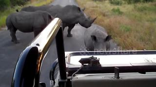 Rhino roadblock at Kruger National Park - Video