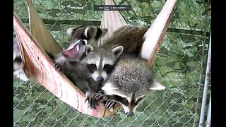 Lazy Raccoons Take A Group Nap On A Hammock  - Video