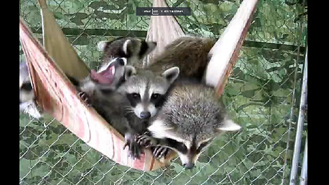 Lazy Raccoons Take A Group Nap On A Hammock