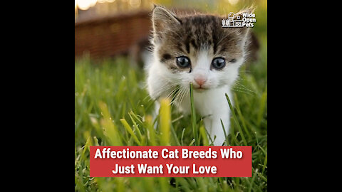 Affectionate Cat Breeds Who Just Want Your Love