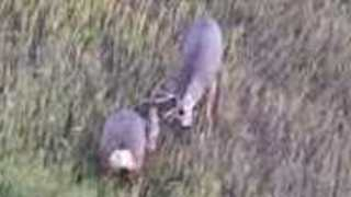 Deer Seen Fighting in Steamboat Springs During Rut Season - Video