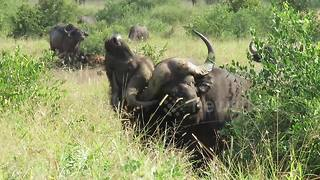 Moment pair of Cape Buffalo get their horns locked together