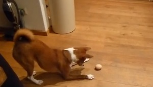Confused dog tries to figure out egg - Video