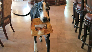 Happy Great Dane Loves to Carry Box of Chicken  - Video