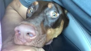 Dog Thinks That Car Wash Is The Start Of Armageddon - Video
