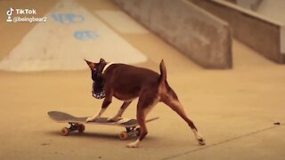 Skateboarding rat terrier shows off his super cool skills