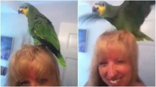 This parrot loves his owner's blow dryer!