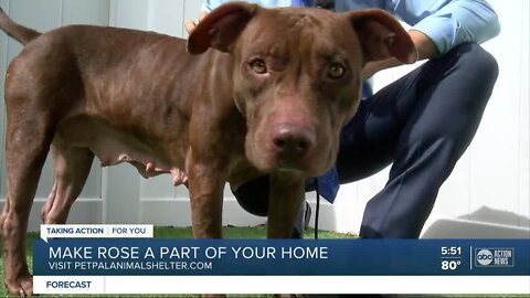 Pet of the week: Rose is a 3-year-old affectionate girl with a heart of gold