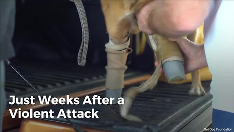 After a Violent Attack; Prosthetics Give Cola the Dog a New Lease on Life