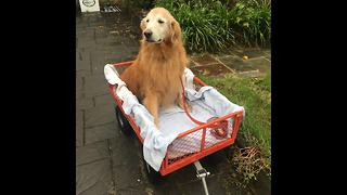 Golden retriever too old for walks hitches a wagon ride down the street