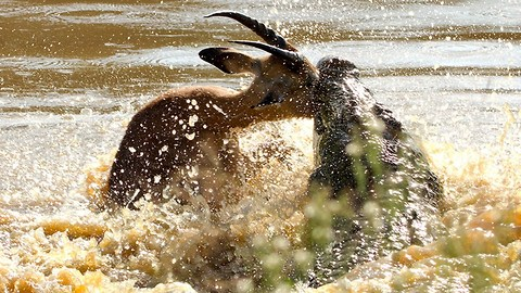 Caught On Camera: Crocodile Catches A Leaping Impala