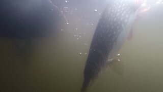 Underwater Northern Pike Release with GoPro