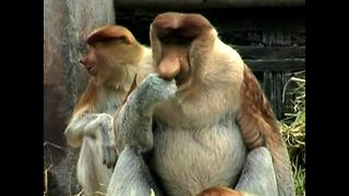 Meet the Proboscis Monkey - Video