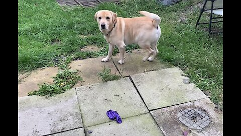 Dog pops balloon and is left in complete confusion