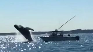 Humpback Whale Takes Spectacular Leap Near Cape Henry - Video