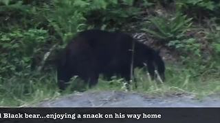 Black bear meanders home after tough day - Video