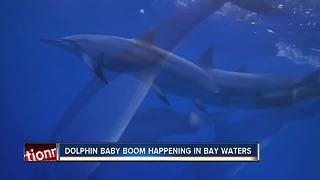 Scientists see spike in baby dolphins in Tampa Bay area - Video