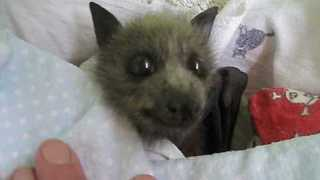 Orphaned Bat Gets Looked After in Bat Creche - Video