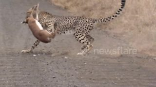 Cheetah kill in the Kruger