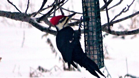 New birdfeeder attracts three woodpecker species within minutes