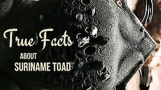 True facts about the Suriname Toad