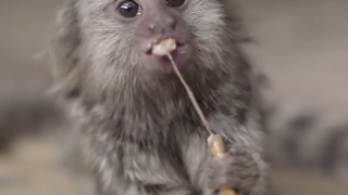 Cute Marmoset Twins Enjoy Their Food - Video