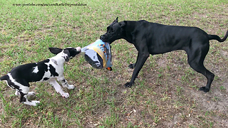 Great Danes Play With Halloween Costume After Opening Package - Video