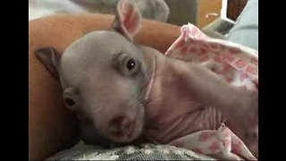Adorable Baby Wombat Goes to Sleep After Feeding - Video