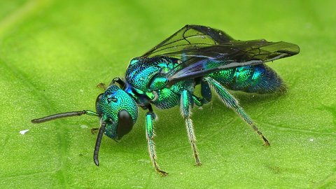 Iridescent Temnosoma Bee shows off dazzling colors