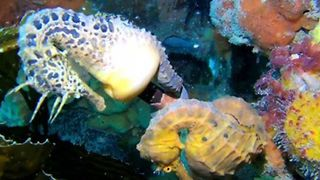 'Flirting' Seahorses Display Beautiful Colors and Patterns - Video