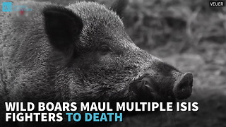 Wild Boars Maul Multiple ISIS Fighters To Death - Video