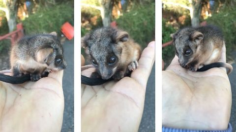 Cute orphaned possum was recused from the roadside