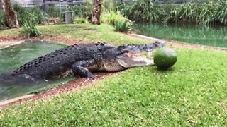 Cranky Crocodile Destroys Watermelon With Its Powerful Jaw - Video