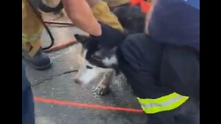 Blind Dog Missing for 2 Days Rescued From Sacramento Storm Drain