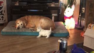 Puppy learns to bark when dog steals his toy