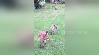 Family of foxes visits Leicester woman in back garden - Video