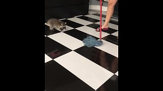 "Pet raccoon ""helps"" with house cleaning"