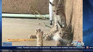 Proof that Arizona is 'Wildcat Country' - Video